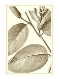 Cropped Sepia Botanical II