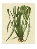 New Zealand Flax