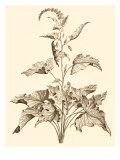 Sepia Munting Foliage II