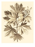 Sepia Munting Foliage V