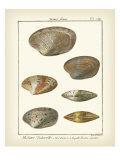 Venus Shells  Pl281