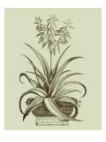 Vintage Aloe II
