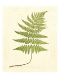Soft Prickley Shield Fern