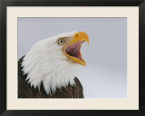 Bald Eagle Screaming  Homer  Alaska  USA