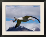 Wandering Albatross  Longest Wingspan in the World  in Flight  South Georgia Island  Antarctica