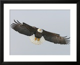Bald Eagle Flying with Full Wingspread  Homer  Alaska  USA