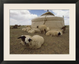 Native Housing  Felt Tent  or Yurt  and Sheep of Mongolian Sheep Ranchers