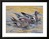 American Wigeons Courting  Bosque Del Apache National Wildlife Reserve  New Mexico  USA