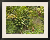Papaya Fruit Grows on a Tree in Hawaii