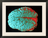 Human Brain Red and Blue