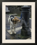 Dog Drinking from a Street Fountain in Rome  Italy