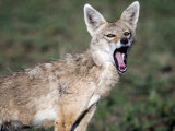 Close-Up of a Golden Jackal  Ndutu  Ngorongoro  Tanzania