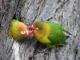 Close-Up of a Pair of Lovebirds  Ndutu  Ngorongoro  Tanzania
