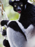 Close-Up of an Indri Lemur  Andasibe-Mantadia National Park  Madagascar