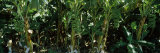 Bananas Growing on Trees  Western Australia  Australia