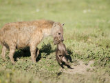 Close-Up of a Hyena Holding its Cub Near a Den  Ndutu  Ngorongoro  Tanzania