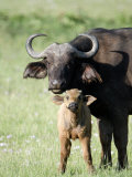 Cape Buffalo with its Calf in a Field  Lake Nakuru National Park  Kenya