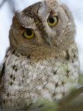 African Scops Owl Perching on a Branch  Tarangire National Park  Tanzania