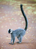 White-Headed Lemur Standing in a Forest  Berenty  Madagascar
