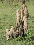 Cheetah Cubs Climbing a Tree  Ndutu  Ngorongoro  Tanzania