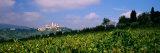 Grapevines in a Vineyard  San Gimignano  Tuscany  Italy