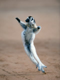 Verreaux's Sifaka Dancing in a Field  Berenty  Madagascar