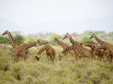 Reticulated Giraffes Grazing in a Field  Samburu National Park  Rift Valley Province  Kenya