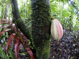 Cocoa Tree in a Rainforest  Costa Rica