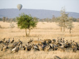 Spotted Hyenas and Vultures Squabbling over Dead Hippopotamus  Serengeti  Tanzania
