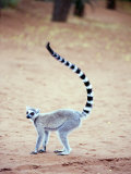 Ring-Tailed Lemur Standing in a Forest  Berenty  Madagascar