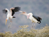 Yellow-Billed Stork and a Marabou Stork Fighting over a Perch  Lake Manyara  Tanzania