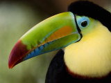 Close-Up of Keel-Billed Toucan  Costa Rica