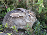 Close-Up of an African Hare in a Forest  Ndutu  Ngorongoro  Tanzania