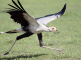 Secretary Bird Running in a Forest  Ndutu  Ngorongoro  Tanzania