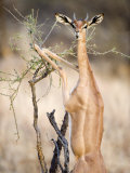 Female Gerenuk Eating Leaves  Samburu National Park  Rift Valley Province  Kenya