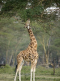Rothschild Giraffe Feeding on Tree Leaves  Lake Nakuru National Park  Kenya