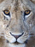 Close-Up of a Lioness  Tarangire National Park  Tanzania