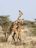 Reticulated Giraffes Necking in a Field  Samburu National Park  Rift Valley Province  Kenya