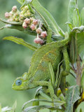 Close-Up of a Dwarf Chameleon  Ngorongoro Crater  Ngorongoro  Tanzania