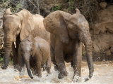 African Elephants Playing with Water  Samburu National Park  Rift Valley Province  Kenya