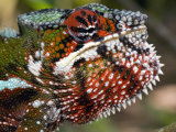 Close-Up of a Panther Chameleon  Andasibe-Mantadia National Park  Madagascar