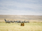 Lioness Looking at a Herd of Zebras  Ngorongoro Crater  Ngorongoro  Tanzania