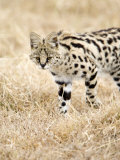 Serval Stalking His Prey  Ngorongoro Crater  Ngorongoro  Tanzania