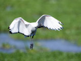 Sacred Ibis in Flight  Ngorongoro Crater  Ngorongoro  Tanzania