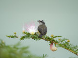 Bananaquit Perching on a Eucalyptus Blossom  Cano Negro  Costa Rica