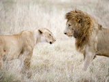 Lion and a Lioness Standing Face to Face in a Forest, Ngorongoro Crater, Ngorongoro, Tanzania Papier Photo