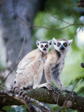 Ring-Tailed Lemur with its Young One  Berenty  Madagascar