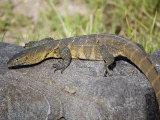 Nile Monitor Lizard on a Rock  Tarangire National Park  Tanzania