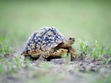 Leopard Tortoise Moving Slowly in a Field  Tarangire National Park  Tanzania