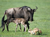 Newborn Wildebeest Calf and Mother with Hunting Golden Jackals  Ngorongoro Crater  Tanzania